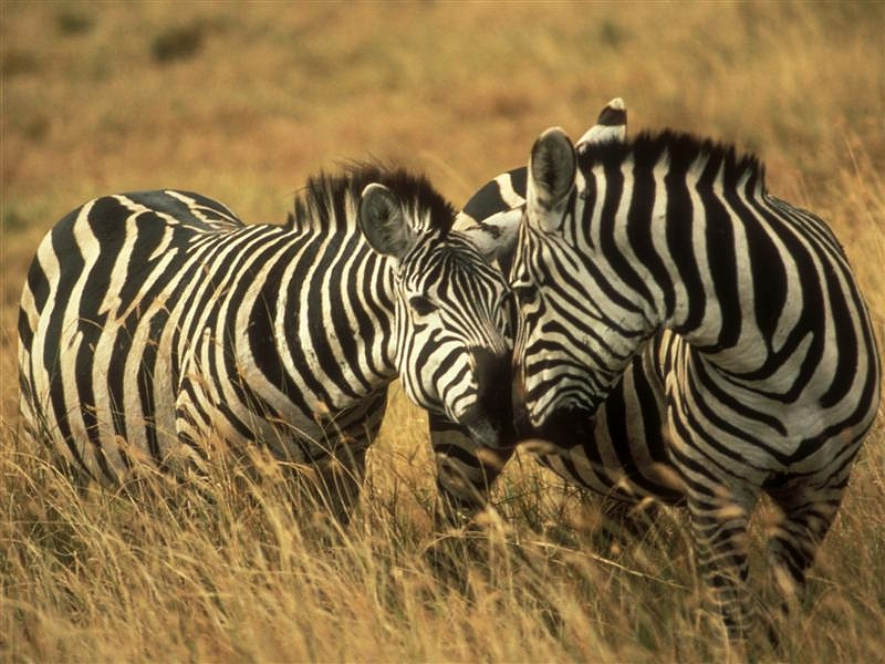 Zebra on a Tanzania Wildlife Safari