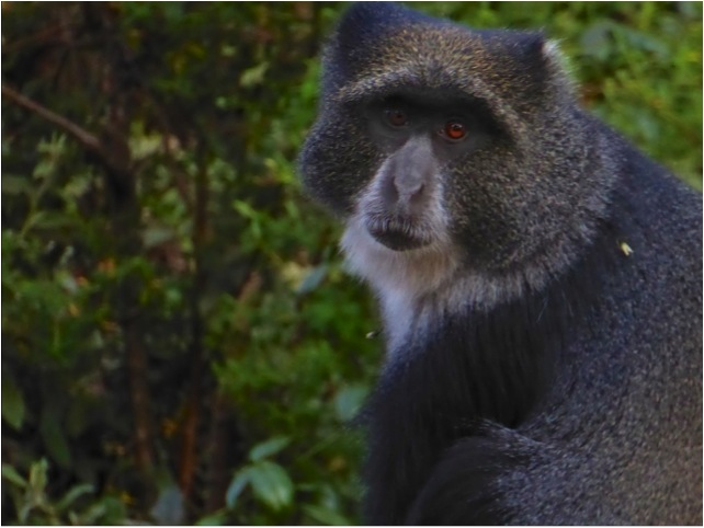 Kilimanjaro blue monkey