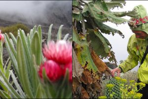 Kilimanjaro's Five Botanic Worlds